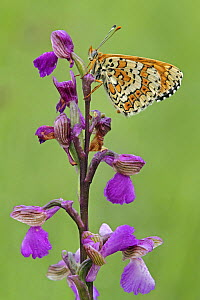 Glanville Fritillary (Melitaea cinxia) butterfly on Green-winged Orchid (Orchis morio), Saint-Jory-las-Bloux, Dordogne, France  -  Silvia Reiche