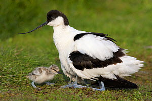 Pied Avocet (Recurvirostra avosetta) female with chicks, Texel, Noord-Holland, Netherlands  -  Jan Wegener