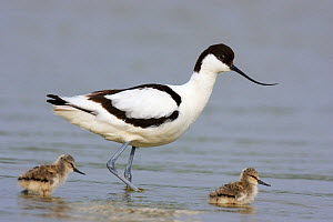Pied Avocet (Recurvirostra avosetta) mother with chicks, Texel, Noord-Holland, Netherlands  -  Jan Wegener