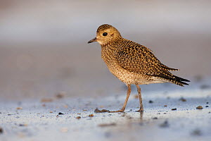 Golden Plover (Pluvialis apricaria) on the beach, Helgoland, Germany  -  Jan Wegener