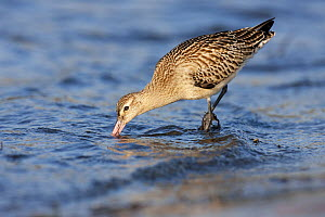 Bar-tailed Godwit (Limosa lapponica) foraging, Helgoland, Germany  -  Jan Wegener