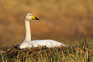 Whooper Swan (Cygnus cygnus) on nest, Vastergotland, Sweden  -  Jan Wegener