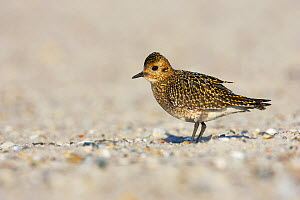 Golden Plover (Pluvialis apricaria) on sandy North Sea beach, Helgoland, Germany  -  Jan Wegener