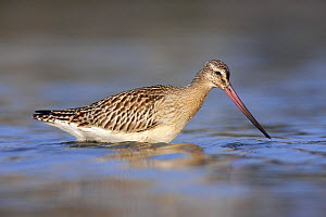 Bar-tailed Godwit (Limosa lapponica), Helgoland, Germany  -  Jan Wegener
