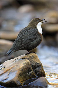 White-throated Dipper (Cinclus cinclus) singing, Lower Saxony, Germany  -  Duncan Usher
