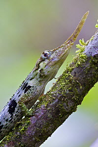 Horned Anole (Anolis proboscis) male on a branch, Mindo, Pichincha, Ecuador  -  James Christensen