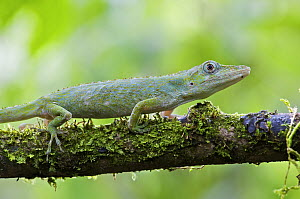 Horned Anole (Anolis proboscis) female on a branch, Mindo, Pichincha, Ecuador  -  James Christensen
