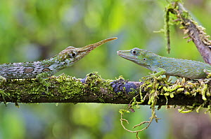 Horned Anole (Anolis proboscis) male and female showing radical sexual dimorphism, Mindo, Pichincha, Ecuador  -  James Christensen