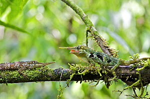 Horned Anole (Anolis proboscis) males confronting on branch, Mindo, Pichincha, Ecuador. Sequence 3 of 10  -  James Christensen