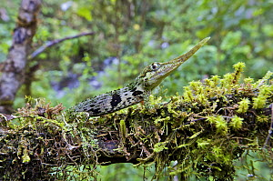 Horned Anole (Anolis proboscis) male on a tree branch, Mindo, Pichincha, Ecuador  -  James Christensen