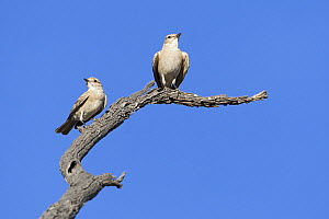 Tractrac Chat (Cercomela tractrac) pair perched on a dead tree branch, Nossob River, Kgalagadi Transfrontier Park, Botswana  -  Vincent Grafhorst