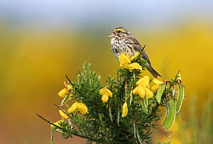Savannah Sparrow (Passerculus sandwichensis) singing on broom, Vancouver, Canada  -  Jasper Doest
