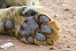 African Lion (Panthera leo) front paw of a male, Auob River, Kgalagadi Transfrontier Park, Botswana  -  Vincent Grafhorst