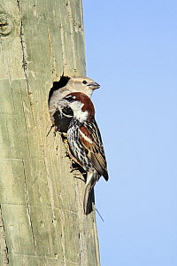 Spanish Sparrow (Passer hispaniolensis) female and male with nest material at entrance in telegraph pole nest, Alentejo, Portugal  -  Duncan Usher