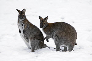 Red-necked Wallaby (Macropus rufogriseus) pair in snow, native to Australia  -  Duncan Usher