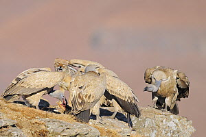 Black-backed Jackal (Canis mesomelas) feeding on carcass together with Cape Vultures (Gyps coprotheres), Giant's Castle Nature Reserve, Drakensberg, South Africa  -  Winfried Wisniewski