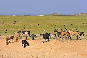 Domestic Goat (Capra hircus) herd in landscape, El Jable, Lanzarote, Canary Islands, Spain  -  Winfried Wisniewski