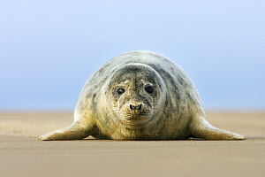 Grey Seal (Halichoerus grypus) seal pup on the beach, Donna Nook, Lincolnshire, United Kingdom  -  Jasper Doest