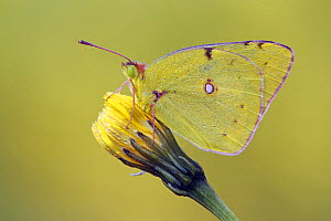 Clouded Yellow (Colias croceus) butterfly on flower bud, Pruggern, Styria, Austria  -  Silvia Reiche