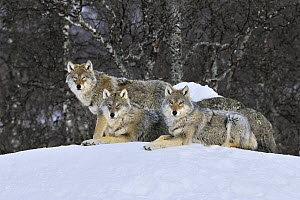 Gray Wolf (Canis lupus) pack in the snow, Norway  -  Jasper Doest