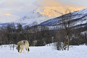 Gray Wolf (Canis lupus) in snow, Norway  -  Jasper Doest