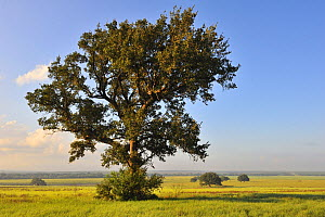 Coast Live Oak (Quercus agrifolia), George West, Texas  -  Jasper Doest