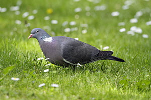 Common Wood-pigeon (Columba palumbus) foraging in garden, Lower Saxony, Germany  -  Duncan Usher