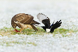 European Magpies (Pica pica) harrassing Common Buzzard (Buteo buteo) feeding on prey, Lower Saxony, Germany  -  Duncan Usher