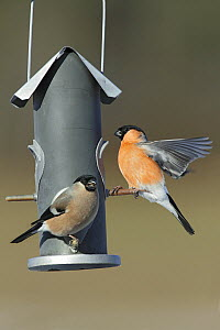 Eurasian Bullfinch (Pyrrhula pyrrhula) pair on bird feeder, Bursfelde, Lower Saxony, Germany  -  Duncan Usher