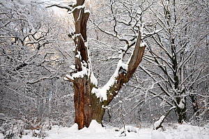 English Oak (Quercus robur) ancient tree trunk in snowy forest, Sababurg Primeval Forest, Reinhardswald, Hessen, Germany  -  Duncan Usher
