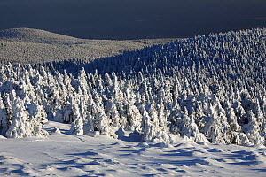 Norway Spruce (Picea abies) forest in snow, Brocken, Harz, Germany  -  Duncan Usher
