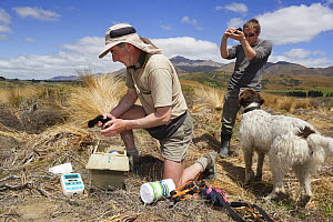 Takahe (Porphyrio mantelli) chicks being inspected by researchers at Burwood Breeding Center, Te Anau, New Zealand  -  Stephen Belcher