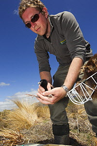 Takahe (Porphyrio mantelli) chick and researcher with a specially trained detection dog with muzzle, Burwood Breeding Center, New Zealand  -  Stephen Belcher