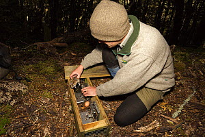 Takahe (Porphyrio mantelli) predator rat being removed from trap by a researcher, Takahe Valley, New Zealand  -  Stephen Belcher
