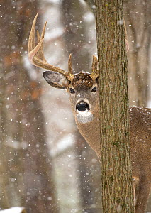 White-tailed Deer (Odocoileus virginianus) buck in snowfall, North America  -  Mark Raycroft / Minden