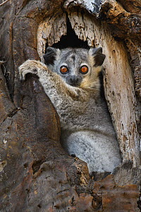 White-footed Sportive Lemur (Lepilemur leucopus) in cavity, Madagascar  -  Chien Lee / Minden