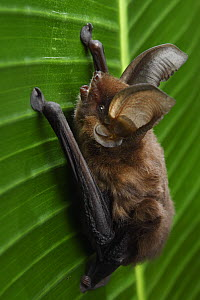 Madagascar Sucker-footed Bat (Myzopoda aurita) female, Fianarantsoa Province, Madagascar  -  Chien Lee / Minden