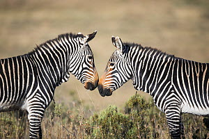 Mountain Zebra (Equus zebra) stallions fighting, Mountain Zebra National Park, South Africa  -  Richard Du Toit / Minden