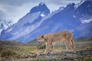 Mountain Lion (Puma concolor) and mountains, Cordillera Paine, Torres del Paine National Park, Chile  -  Benjamin Olson / Minden