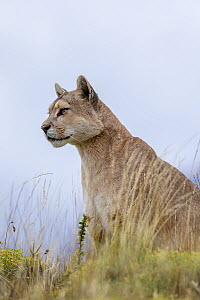 Mountain Lion (Puma concolor), Torres del Paine National Park, Chile  -  Benjamin Olson / Minden