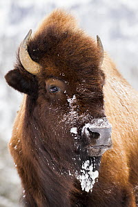 American Bison (Bison bison) female in winter, Yellowstone National Park, Wyoming  -  Sebastian Kennerknecht / Minden