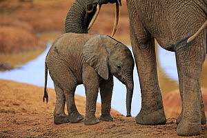 African Elephant (Loxodonta africana) calf, Addo National Park, South Africa  -  Juergen & Christine Sohns / Minden