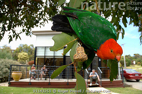 Nature Picture Library - Australian King-Parrot (Alisterus ...