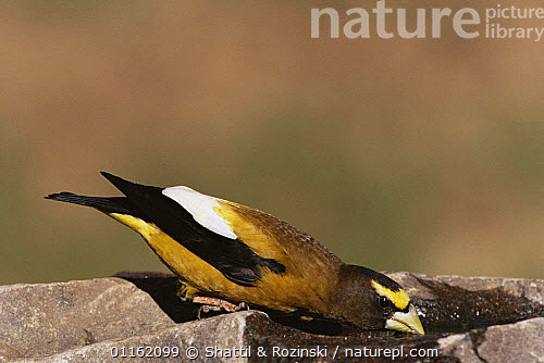 Nature Picture Library - Evening grosbeak {Coccothraustus
