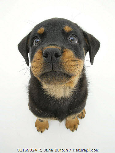 Nature Picture Library Two Rottweiler Pup 8 Weeks Old Sitting