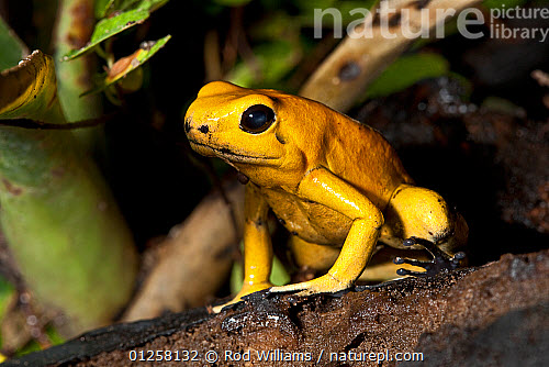 nature picture library golden poison dart frog phyllobates