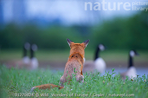 red fox vs canada goose