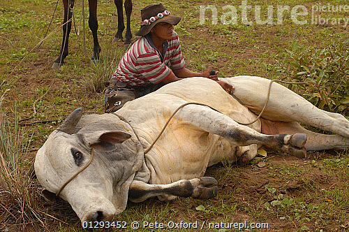 Nature Picture Library Pantanal Bull Lassood By Cowboys To Insert