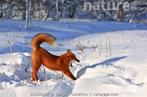 nature picture library red fox vulpes vulpes fox waking up from