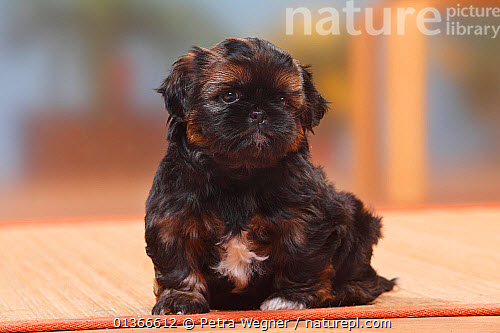 Nature Picture Library Shih Tzu Puppy 6 Weeks Petra Wegner
